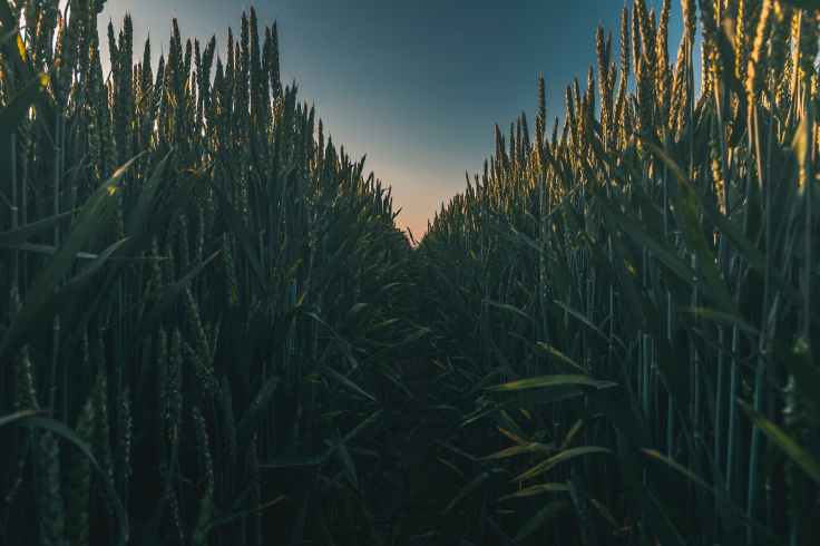photo of corn field